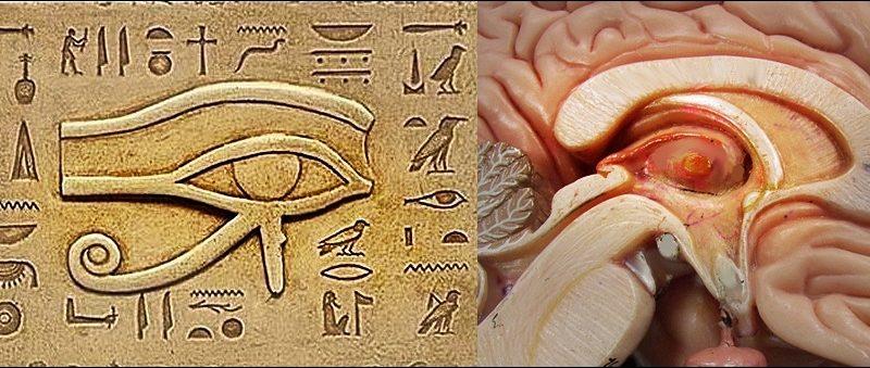 human brain pineal eye of horus 800x339 - The secret materıal that Thırd Eye work harder: Manna
